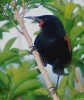 Tieke [Saddleback]
